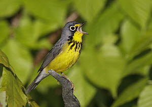 Canada Warbler (Cardellina canadensis) singing male, Maine  -  Robert Royse