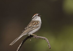 Chipping Sparrow (Spizella passerina), Michigan  -  Robert Royse