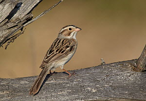 Clay-colored Sparrow (Spizella pallida), Michigan  -  Robert Royse
