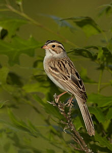 Clay-colored Sparrow (Spizella pallida), Wisconsin  -  Robert Royse