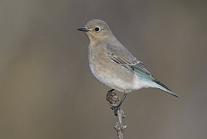 Mountain Bluebird (Sialia currucoides), New Mexico  -  Robert Royse