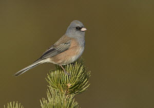 Pink-sided Junco (Junco hyemalis mearnsi), New Mexico  -  Robert Royse