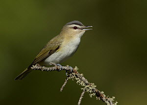 Red-eyed Vireo (Vireo olivaceus) singing, Minnesota  -  Robert Royse