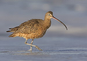 Long-billed Curlew (Numenius americanus), California  -  Robert Royse