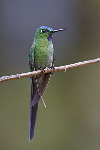 Long-tailed Sylph (Aglaiocercus kingi) male, Abra Patricia Protected Area, Peru  -  Glenn Bartley
