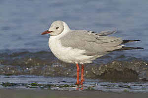 Grey-headed Gull (Larus cirrocephalus), Islas Ballestas, Peru  -  Glenn Bartley
