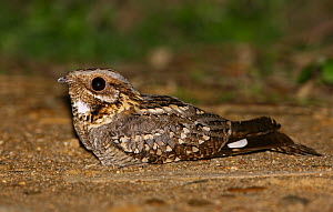 Red-necked Nightjar (Caprimulgus ruficollis), Portugal  -  Pedro Marques