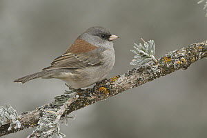 Grey-headed Junco (Junco hyemalis caniceps), New Mexico  -  Glenn Bartley