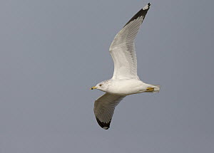 Ring-billed Gull (Larus delawarensis), Ohio - Robert Royse