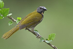 Buff-throated Saltator (Saltator maximus), Costa Rica  -  Glenn Bartley