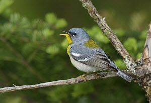 Northern Parula (Setophaga americana) singing male, Maine  -  Robert Royse