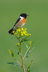 European Stonechat (Saxicola rubicola) male carrying insect prey, Rhineland-Palatinate, Germany  -  Christine Jung