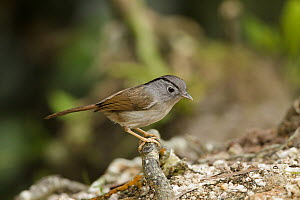 Mountain Fulvetta (Alcippe peracensis), Fraser's Hill, Malaysia - Bob Steele