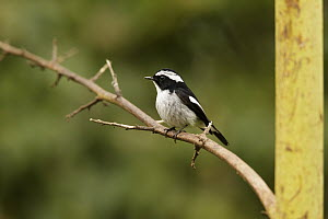 Little Pied Flycatcher (Ficedula westermanni), Fraser's Hill, Malaysia - Bob Steele