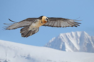 Bearded Vulture (Gypaetus barbatus), Wallis, Switzerland  -  Patrick Donini