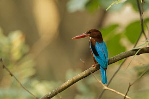 White-throated Kingfisher (Halcyon smyrnensis), Kaeng Krachan, Thailand - Bob Steele
