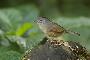 Grey-cheeked Fulvetta (Alcippe morrisonia), Doi Inthanon National Park, Thailand  -  Bob Steele