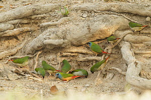 Pin-tailed Parrotfinch (Erythrura prasina) males and females, Doi Inthanon National Park, Thailand  -  Bob Steele