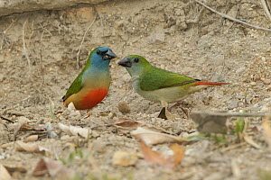 Pin-tailed Parrotfinch (Erythrura prasina) male and female, Doi Inthanon National Park, Thailand  -  Bob Steele