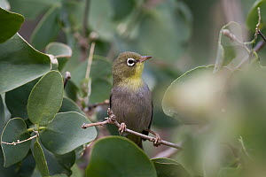 White-breasted White-eye (Zosterops abyssinicus), Oman  -  Ralph Martin