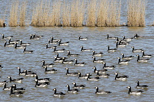 Barnacle Goose (Branta leucopsis) flock, Lower Saxony, Germany  -  Folkert Christoffers