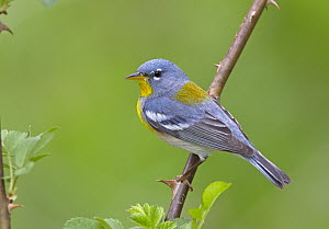 Northern Parula (Setophaga americana) male, Ohio  -  Robert Royse
