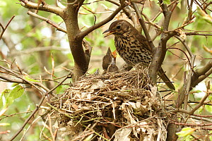 Song Thrush (Turdus philomelos) feeding begging chick at nest, Lower Saxony, Germany  -  Folkert Christoffers