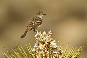 Ash-throated Flycatcher (Myiarchus cinerascens), Kern County, California  -  Bob Steele