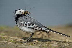 White Wagtail (Motacilla alba) male carrying insect prey, Schleswig-Holstein, Germany  -  Peter Hering