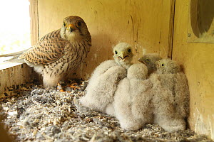 Eurasian Kestrel (Falco tinnunculus) parent and chicks, Lower Saxony, Germany  -  Folkert Christoffers
