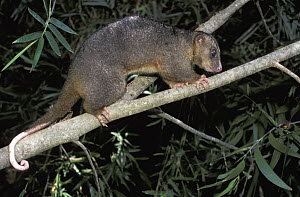 Eastern Common Cuscus (Phalanger intercastellanus) climbing in tree, New Guinea, Papua New Guinea - Roland Seitre
