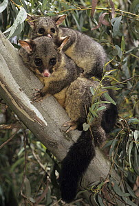 Common Brush-tailed Possum (Trichosurus vulpecula) mother and joey in tree, Australia - Roland Seitre