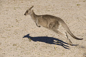 Eastern Grey Kangaroo (Macropus giganteus) hopping, New South Wales, Australia - Roland Seitre