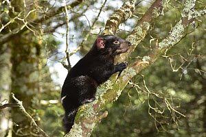Tasmanian Devil (Sarcophilus harrisii) ten month old joey in tree, Cradle Mountain-Lake Saint Clair National Park, Tasmania, Australia  -  D. Parer & E. Parer-Cook