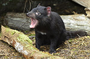 Tasmanian Devil (Sarcophilus harrisii) ten month old joey in threat display, Cradle Mountain-Lake Saint Clair National Park, Tasmania, Australia  -  D. Parer & E. Parer-Cook