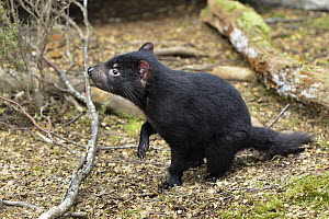 Tasmanian Devil (Sarcophilus harrisii) ten month old joey, Cradle Mountain-Lake Saint Clair National Park, Tasmania, Australia  -  D. Parer & E. Parer-Cook