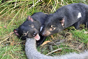 Tasmanian Devil (Sarcophilus harrisii) pair feeding on Red-necked Wallaby (Macropus rufogriseus) carcass, Central Highlands, Tasmania, Australia  -  D. Parer & E. Parer-Cook