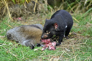 Tasmanian Devil (Sarcophilus harrisii) feeding on Red-necked Wallaby (Macropus rufogriseus) carcass, Central Highlands, Tasmania, Australia  -  D. Parer & E. Parer-Cook