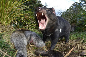 Tasmanian Devil (Sarcophilus harrisii) defending Red-necked Wallaby (Macropus rufogriseus) carcass, Central Highlands, Tasmania, Australia  -  D. Parer & E. Parer-Cook