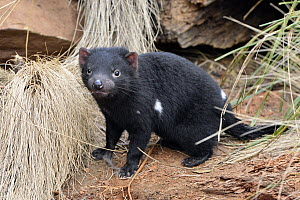 Tasmanian Devil (Sarcophilus harrisii) nine month old joey, Central Highlands, Tasmania, Australia - D. Parer & E. Parer-Cook