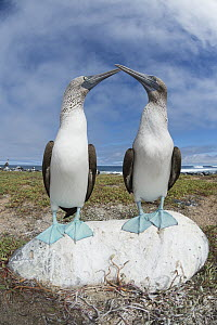 Blue-footed Booby (Sula nebouxii) pair courting, Santa Cruz Island, Galapagos Islands, Ecuador  -  Tui De Roy