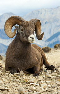 Bighorn Sheep (Ovis canadensis) ram, North America - Mark Raycroft