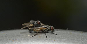 House Fly (Musca domestica) pair mating, Sussex, England  -  Stephen Dalton