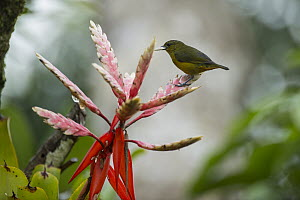 Orange-bellied Euphonia (Euphonia xanthogaster) female perched on a bromeliad, Andes, Ecuador  -  Murray Cooper