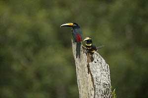 Many-banded Aracari (Pteroglossus pluricinctus) pair on tree trunk, Amazon Rainforest, Ecuador  -  Murray Cooper