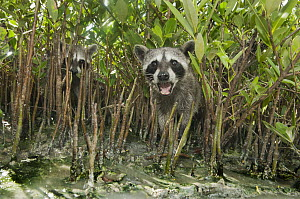 Pygmy Raccoon (Procyon pygmaeus) pair in aerial mangrove roots, Cozumel Island, Mexico - Kevin Schafer