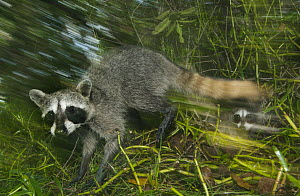 Pygmy Raccoon (Procyon pygmaeus) mother and young, Cozumel Island, Mexico - Kevin Schafer