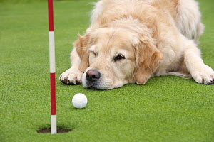 Golden Retriever (Canis familiaris) watching golf ball at hole - Mark Raycroft