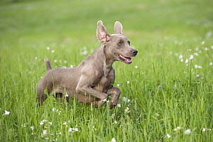 Weimaraner (Canis familiaris) running through field - Mark Raycroft