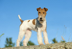 Wire-haired Fox Terrier (Canis familiaris)  -  Mark Raycroft